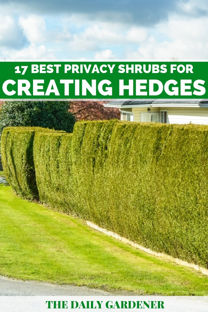 Shrubs for Creating Hedges 3