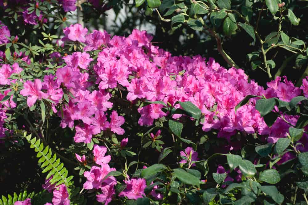 The Most Popular Varieties of Azaleas