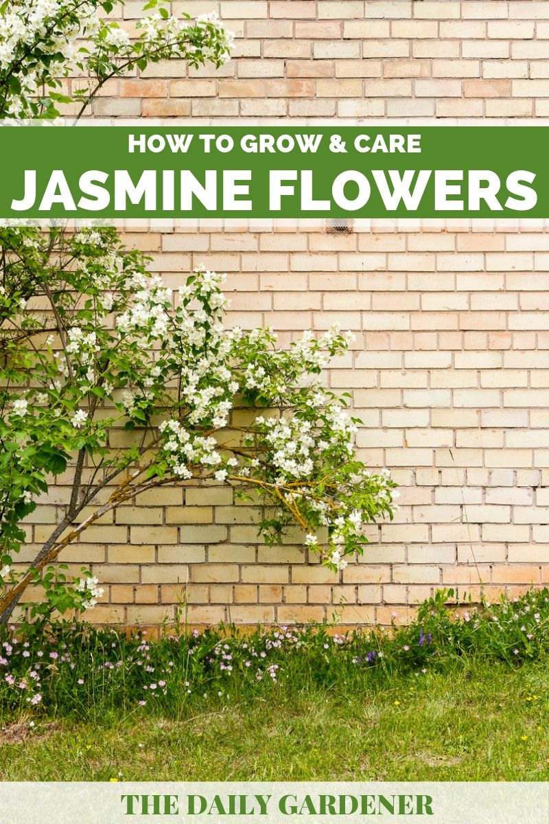 growing jasmine 2