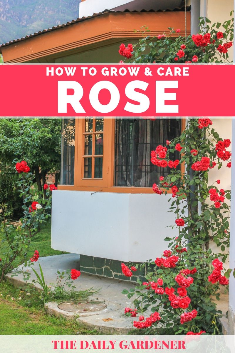 growing rose 1
