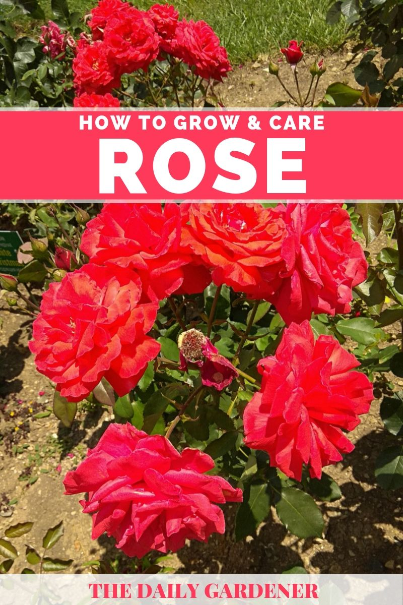 growing rose2