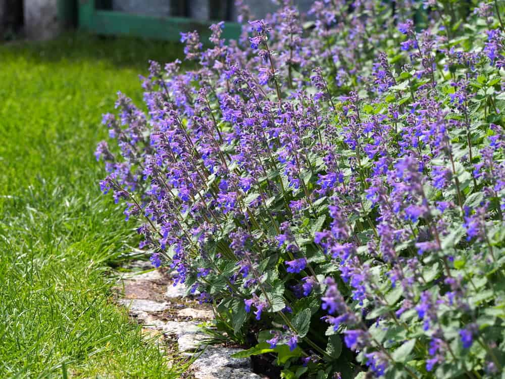 Benefits of Catmint