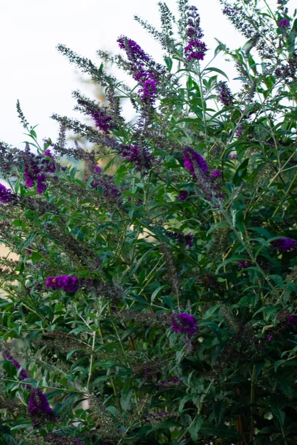Black Night Butterfly Bush