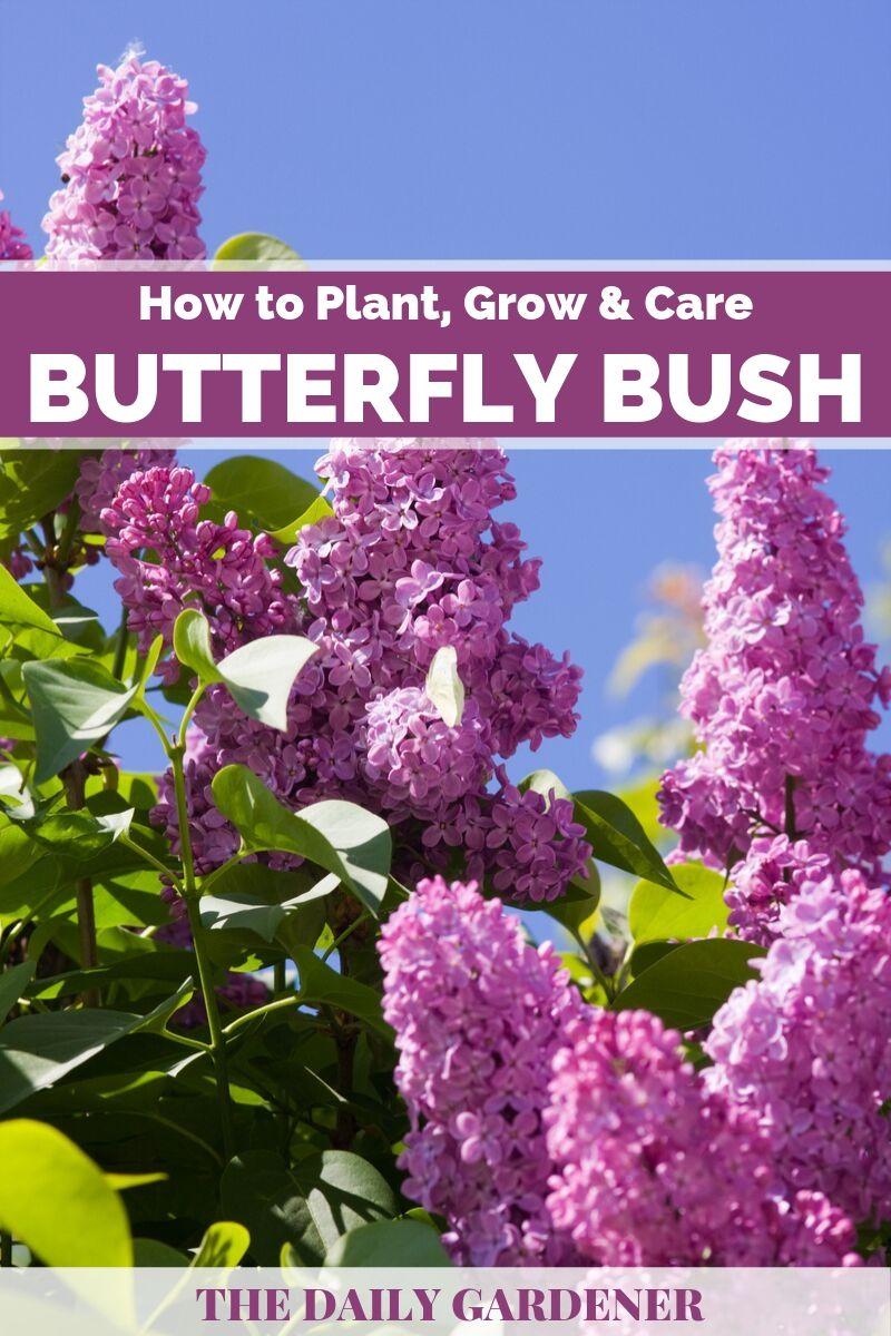 Butterfly Bush 1