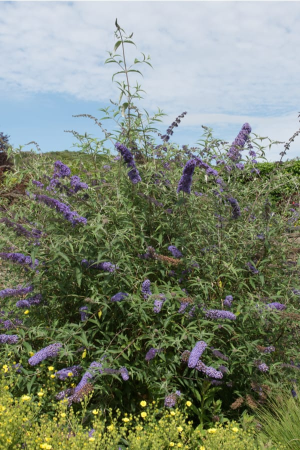 Butterfly bush is a highly invasive plant