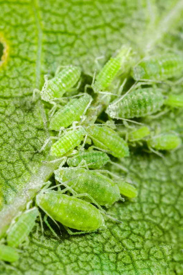 Catmint Aphids