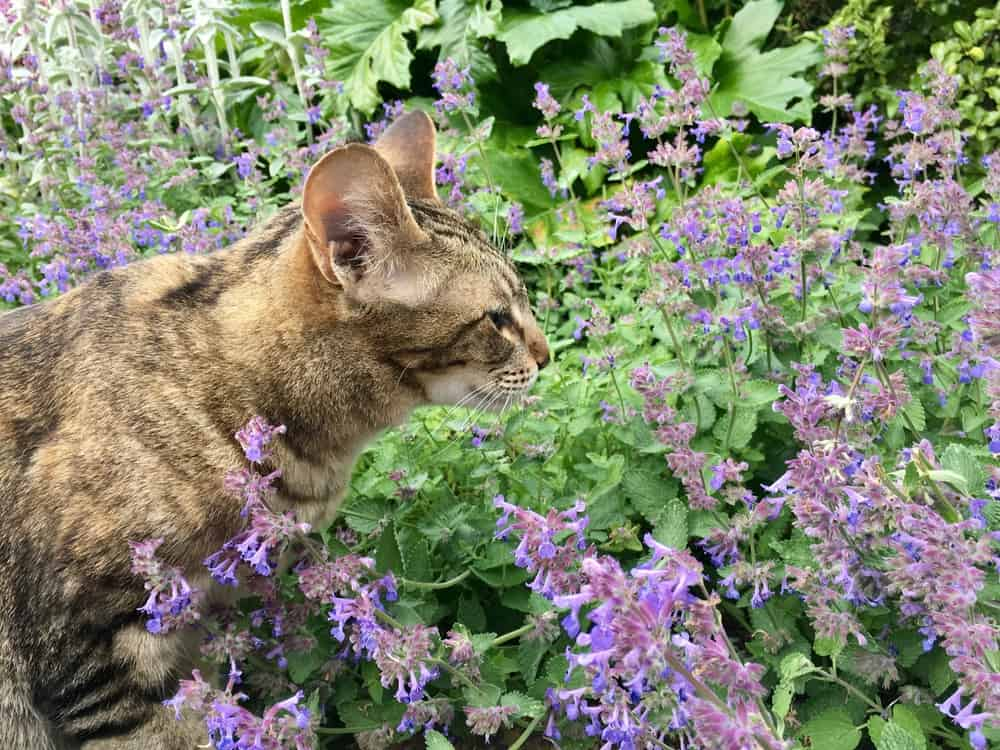 Catmint Cats