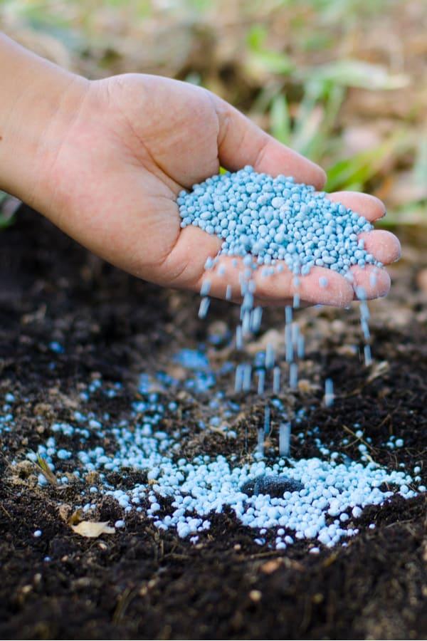Catmint Fertilizing