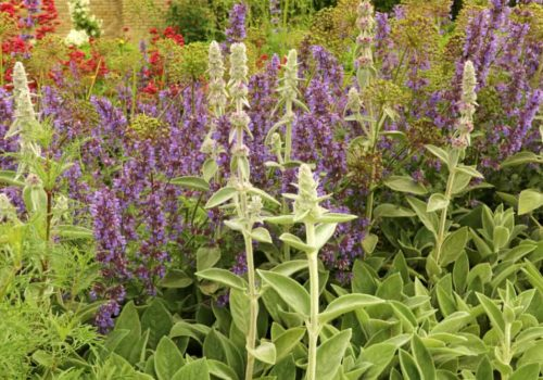 Catmint: How to Plant, Grow and Care?