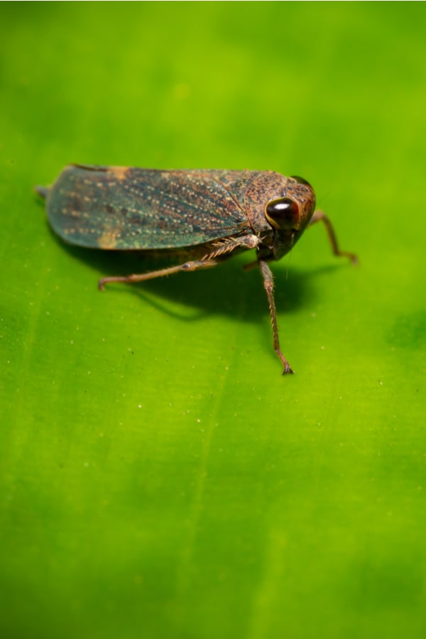 Catmint Leafhoppers