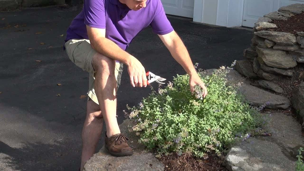 Catmint Pruning and deadheading