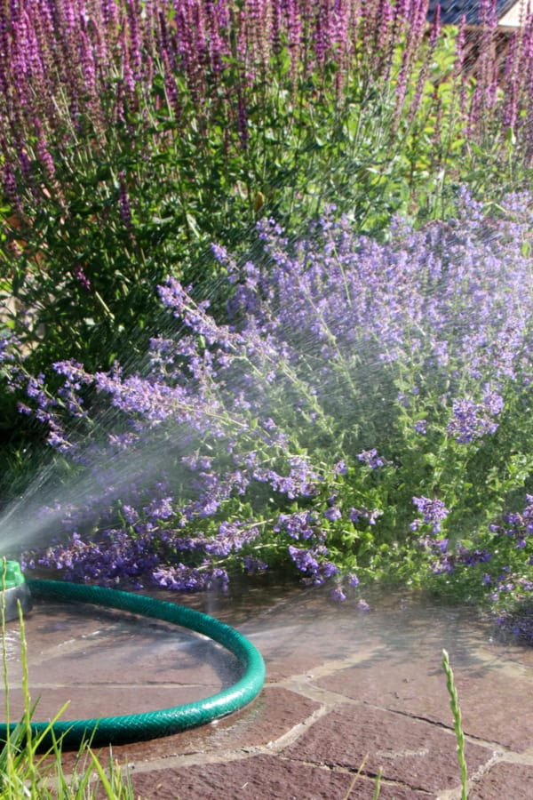Catmint Watering