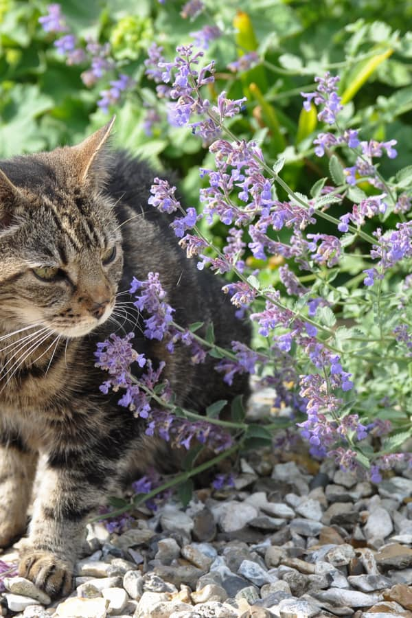 Catmint is an Attractive Plant for Cats