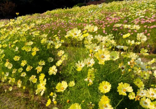 Cosmos Flower: How to Plant, Grow and Care?