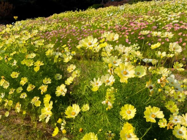 How to Plant Cosmos Flower in Your Garden (Tricks to Care!)