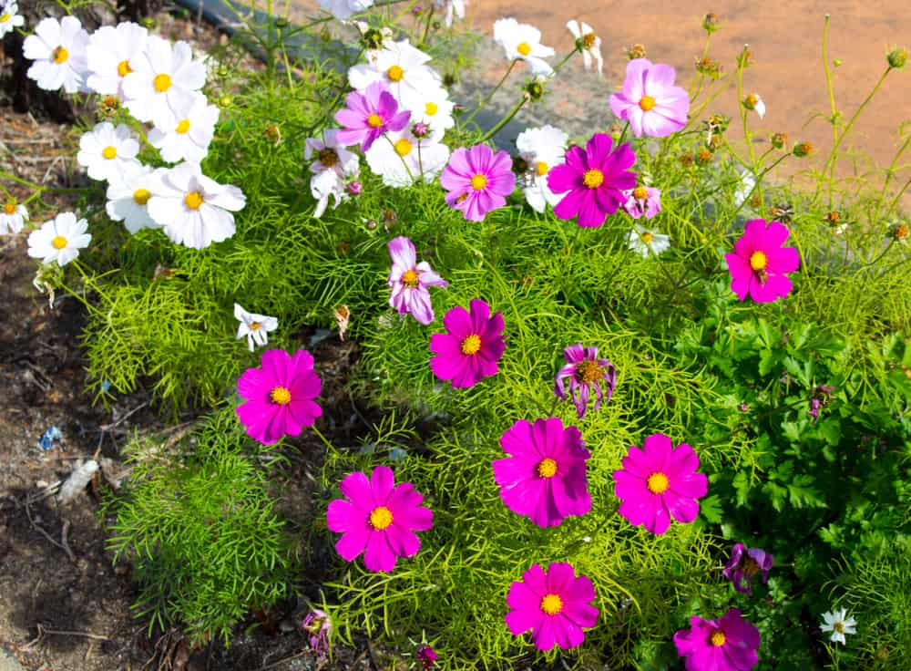 Cosmos Flower In the ground