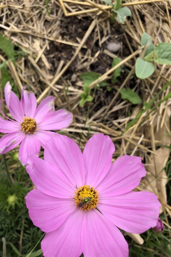 Cosmos Flower Mulching