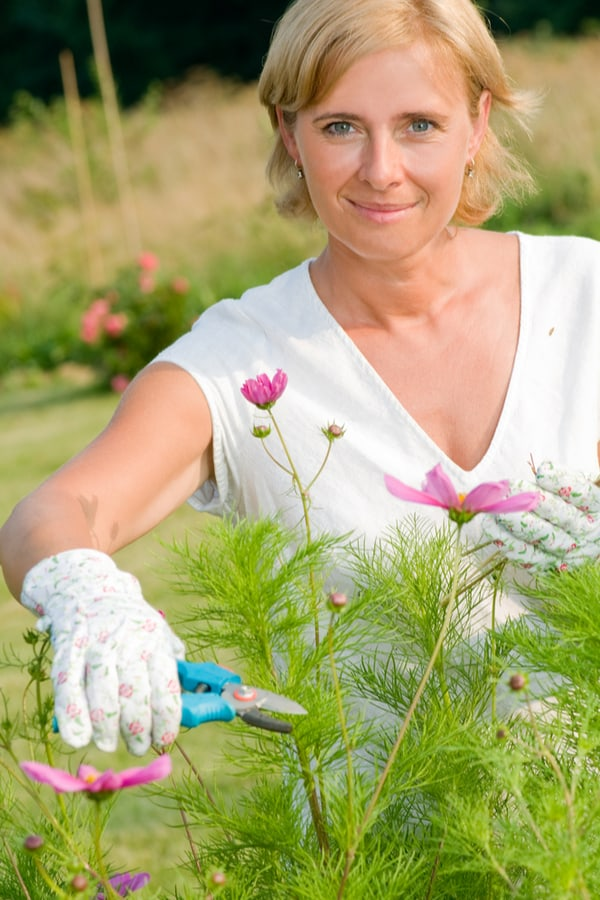 Cosmos Flower Pruning and deadheading