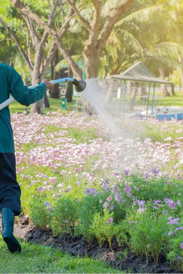 Cosmos Flower Watering
