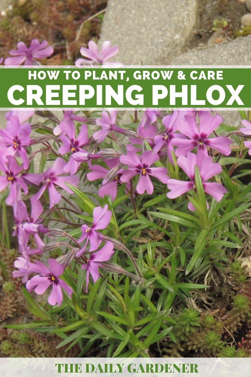 Creeping Phlox 1