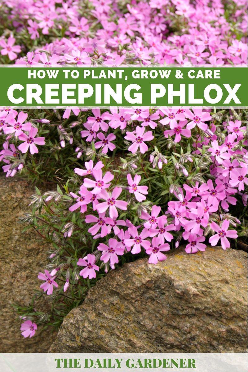 Creeping Phlox 2