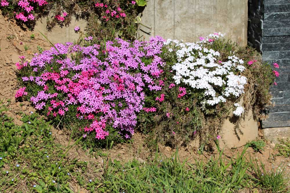 Creeping Phlox Pests and Diseases