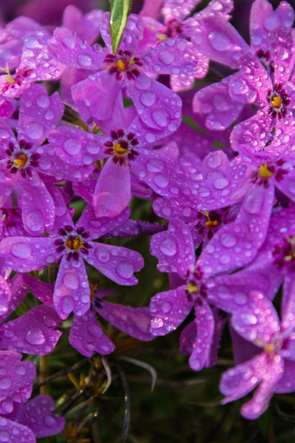 Creeping Phlox Watering