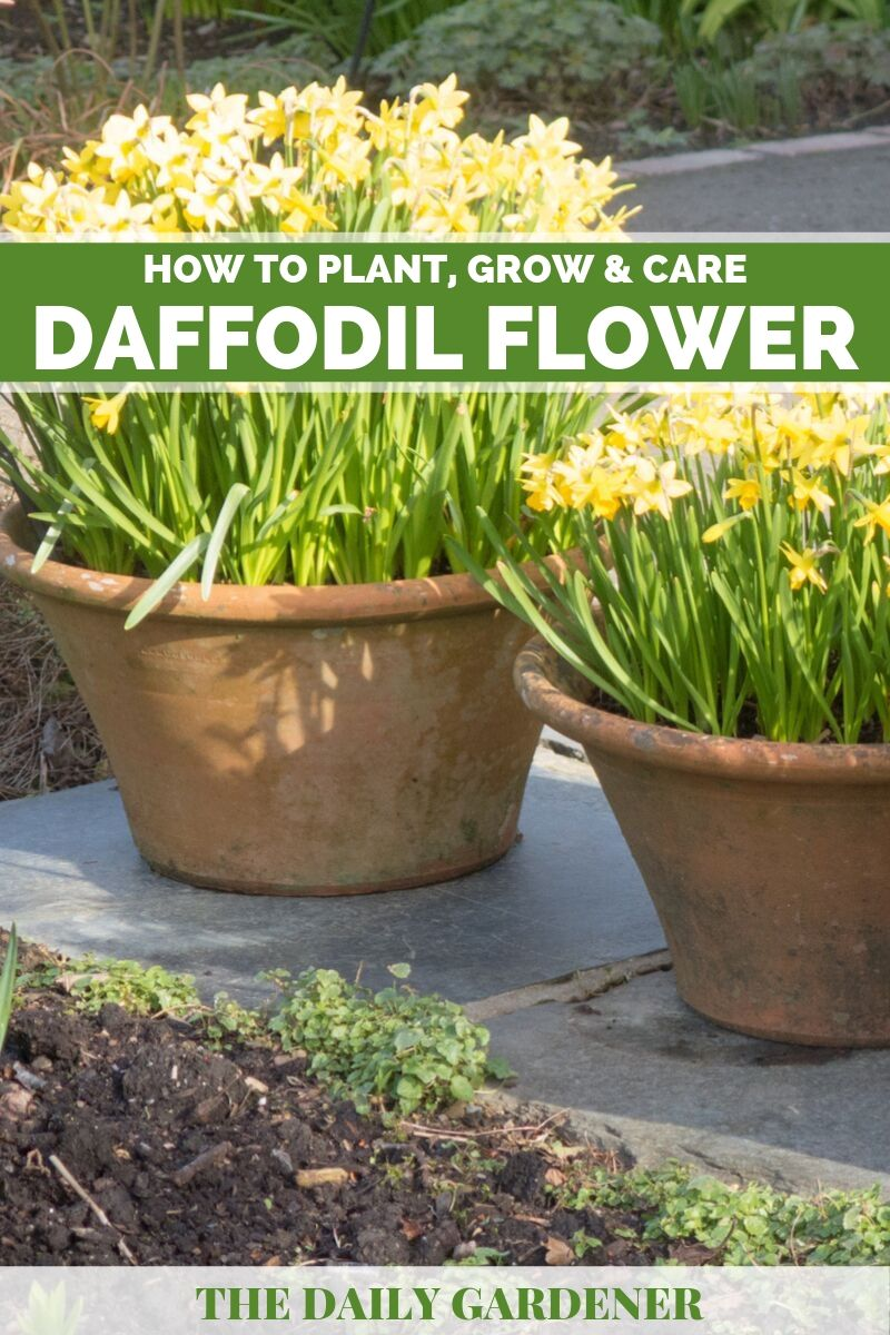 Daffodil Flower 1