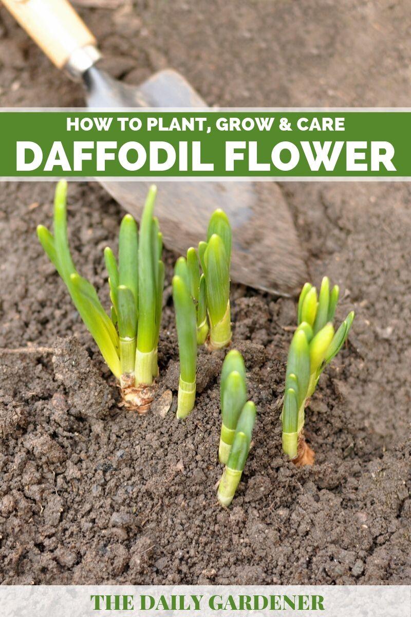 Daffodil Flower 2