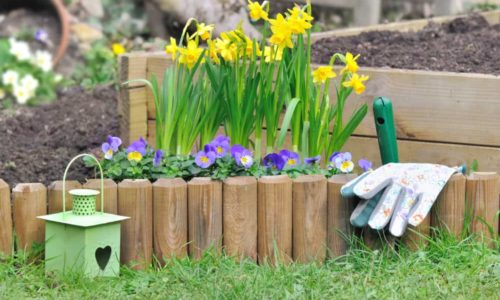 Daffodil Flower: How to Plant, Grow and Care?