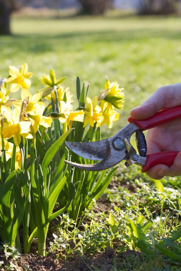 Daffodil Pruning