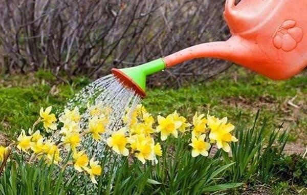 Daffodil Watering