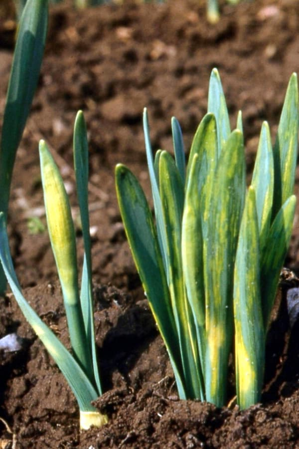 Daffodil Yellow stripe disease