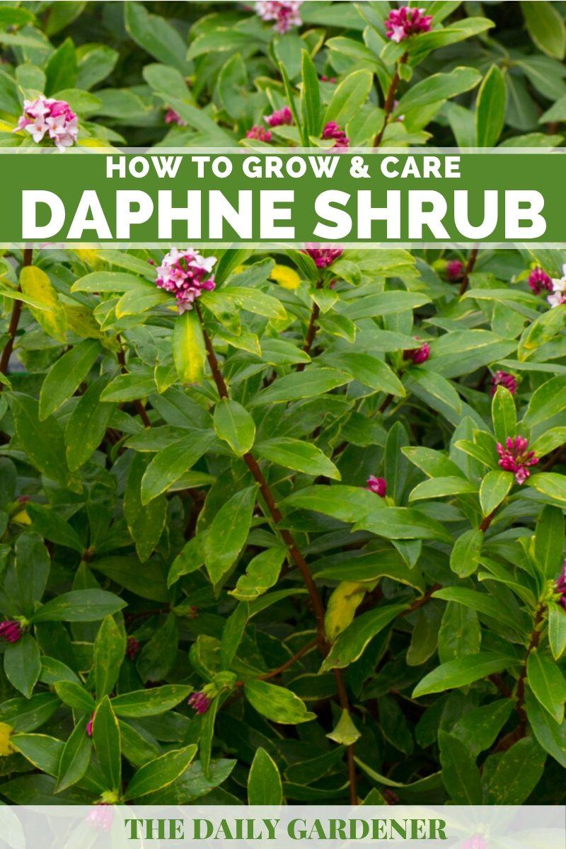 Daphne Shrub 2