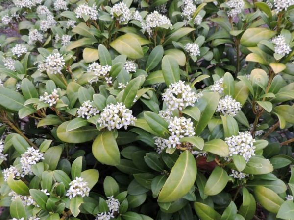 How to Plant Daphne Shrub in Your Garden (Tricks to Care!)