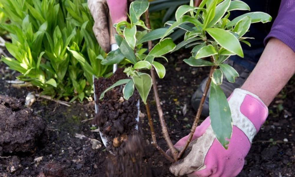 Daphne Shrub Propagation