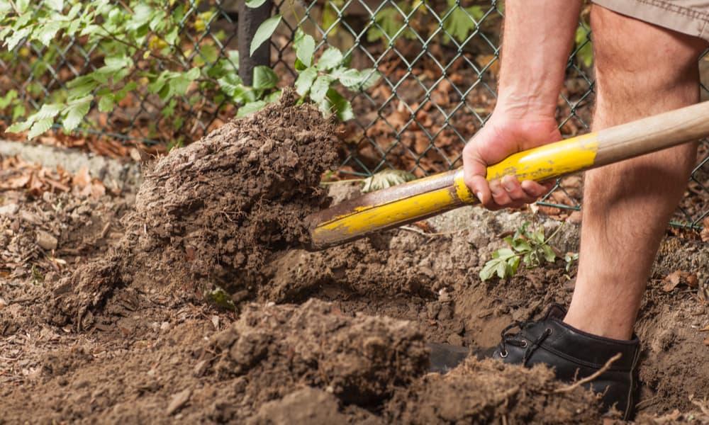 Daphne Shrub Soil