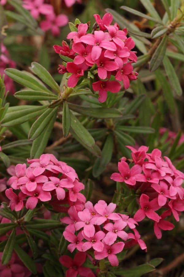 Daphne cneorum (Garland Daphne)