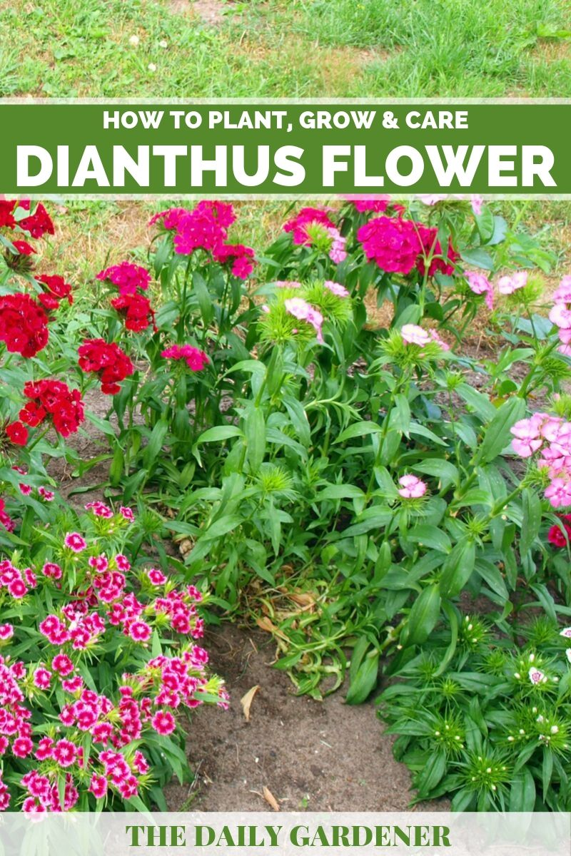 Dianthus Flower 1