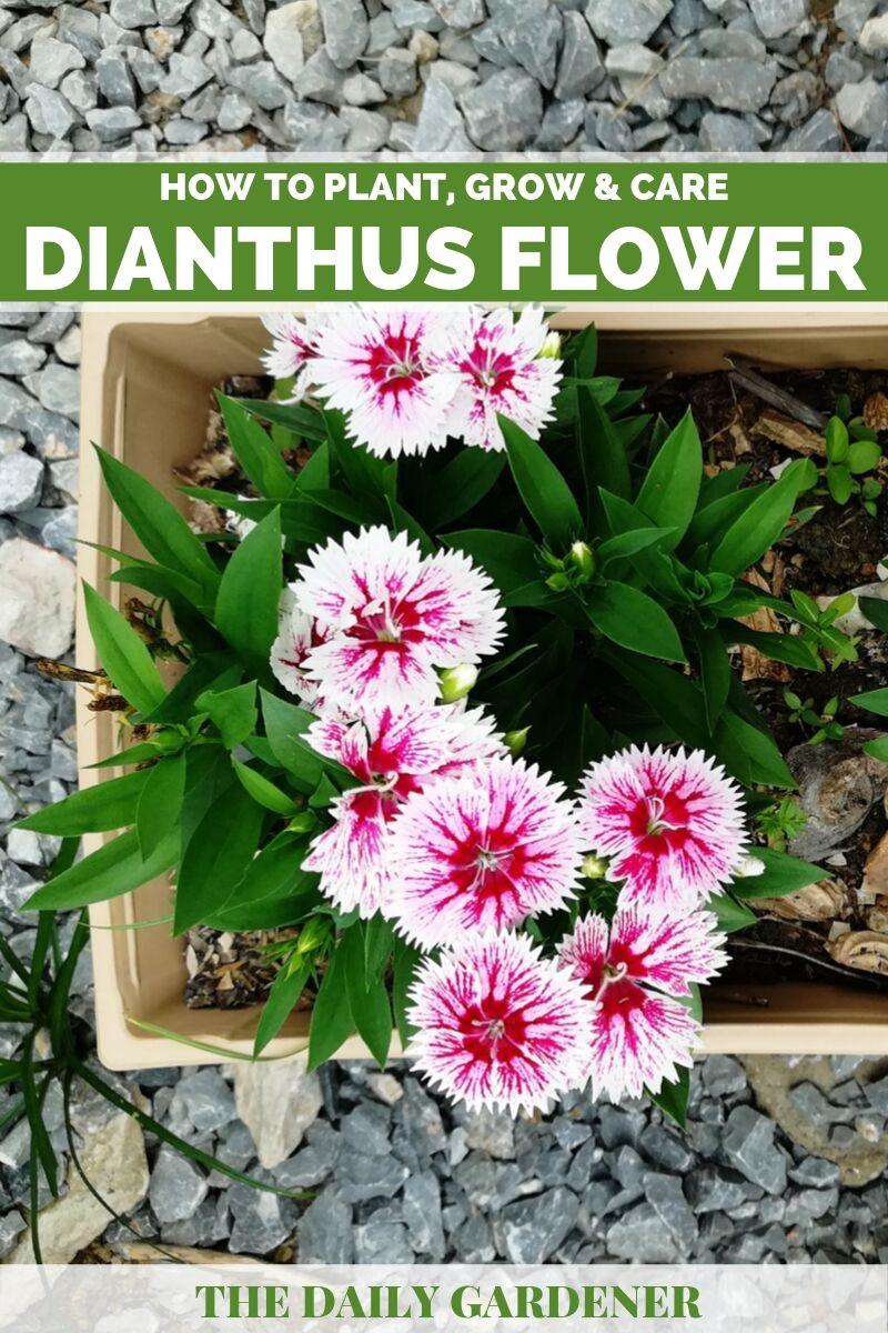 Dianthus Flower 2