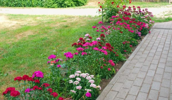 Dianthus Flower How to Plant, Grow and Care