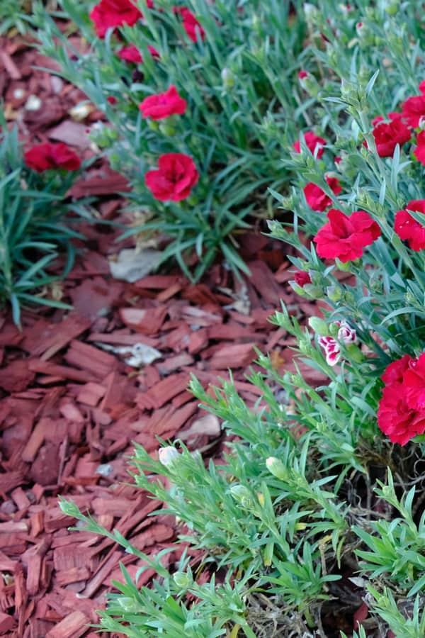Dianthus Flower Mulching