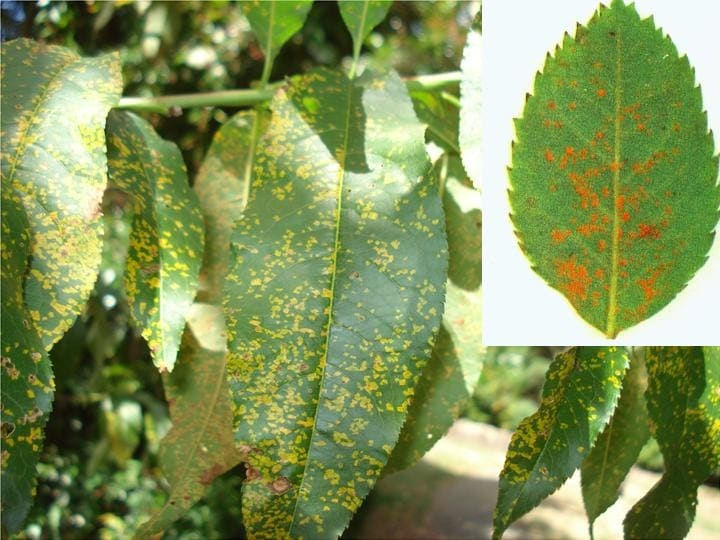 Dianthus Rust