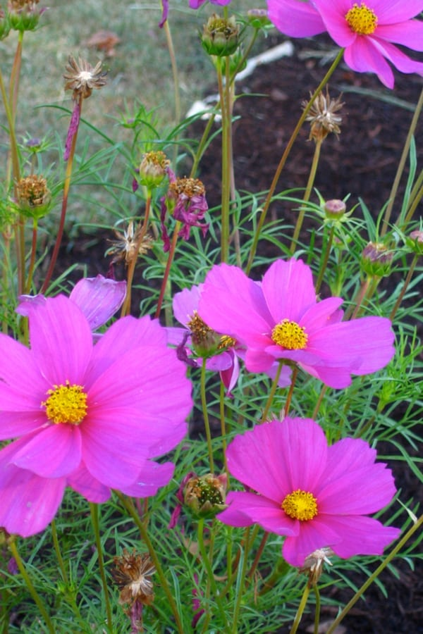 Facts About Cosmos Plant