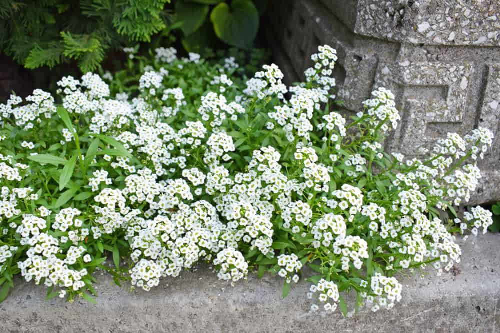 Facts about Sweet Alyssum