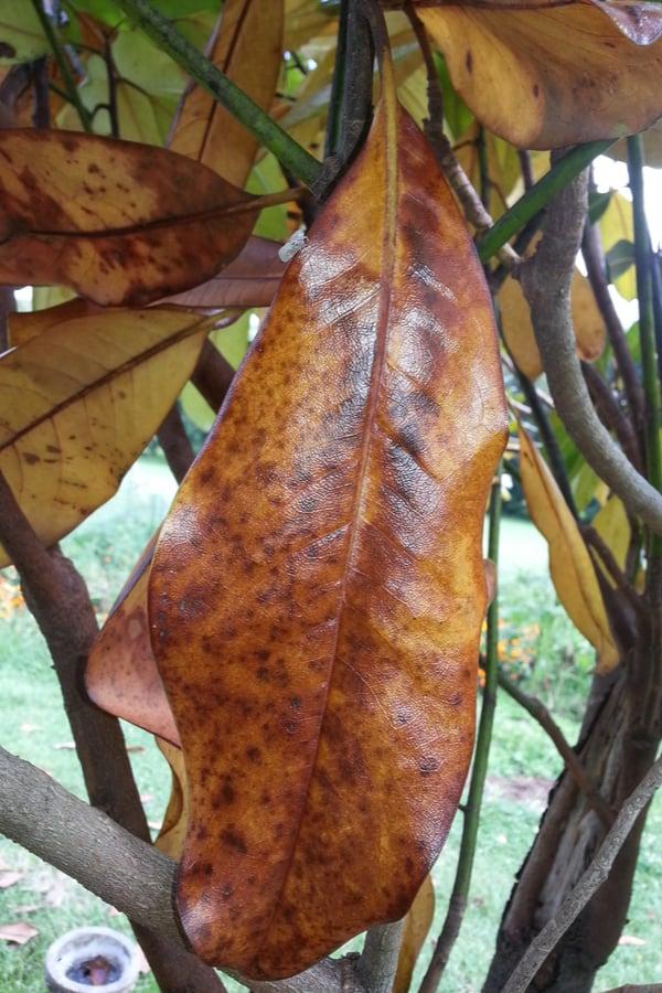 Fungal leaf spots