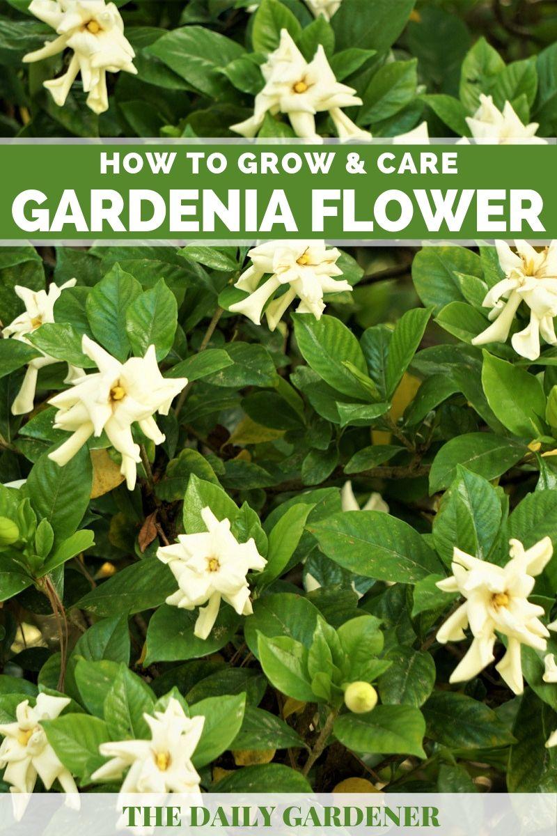 Gardenia Flower 1