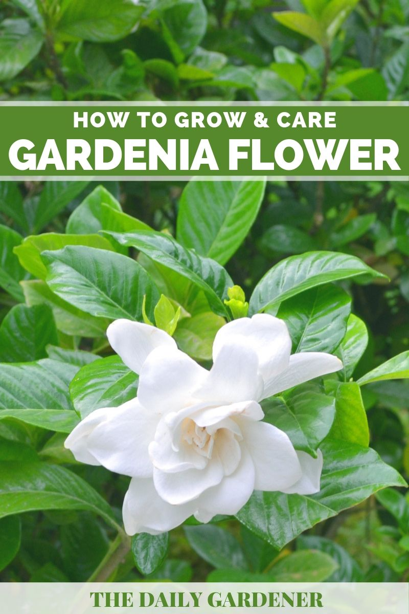 Gardenia Flower 3