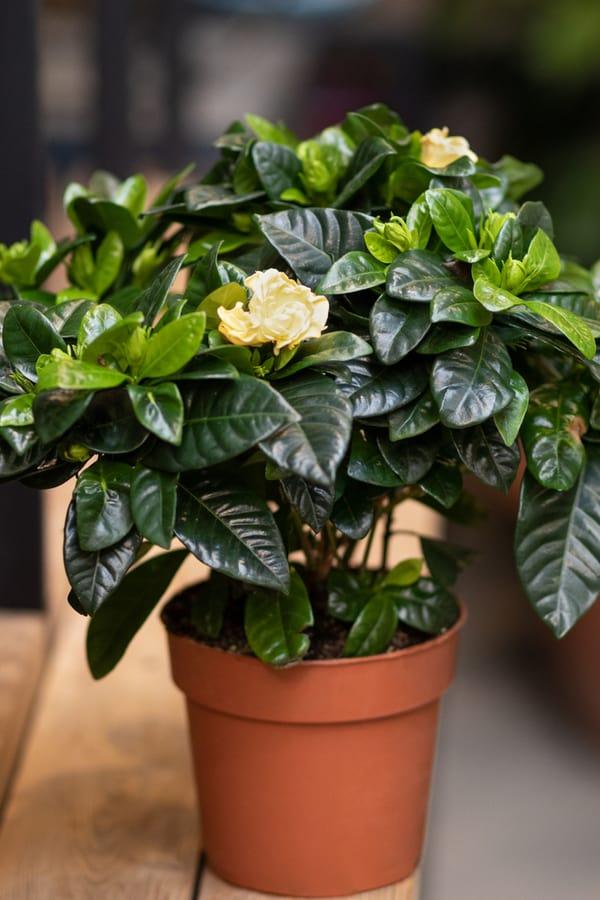 Gardenia Misting
