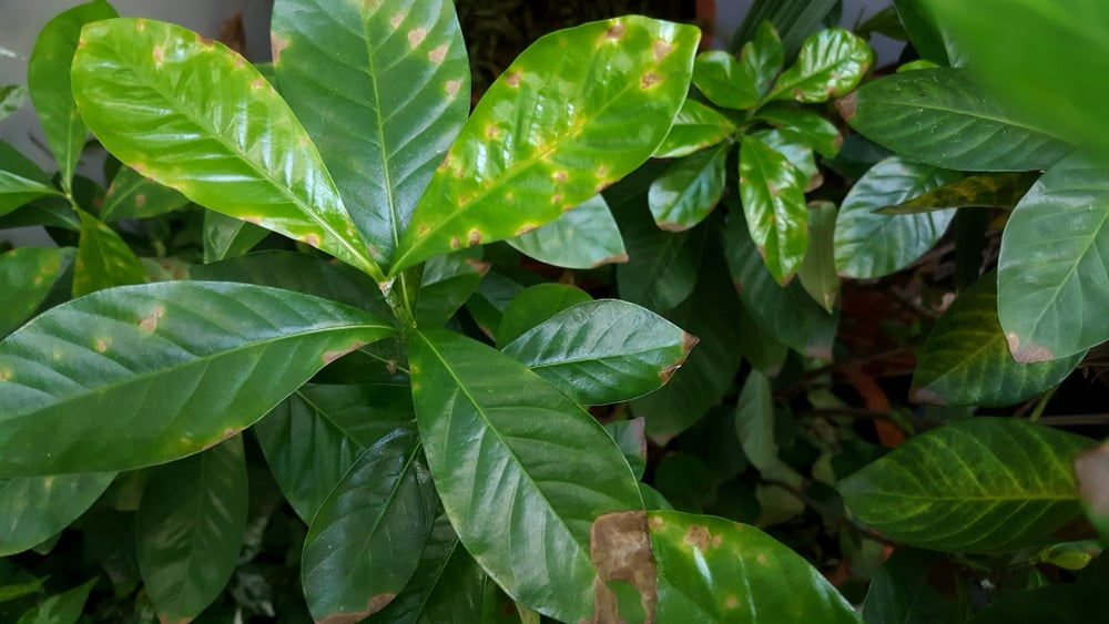 Gardenia Problems with brown leaves